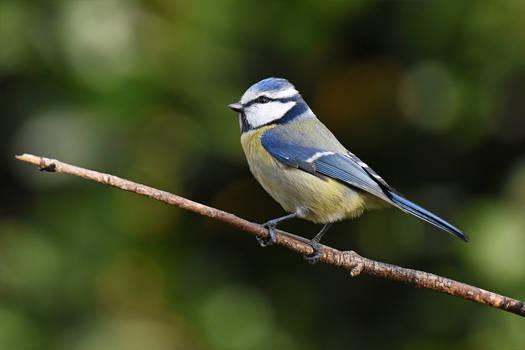 1488 Blue Tit