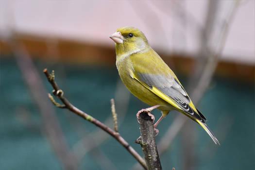 4166 Greenfinch - Verdier