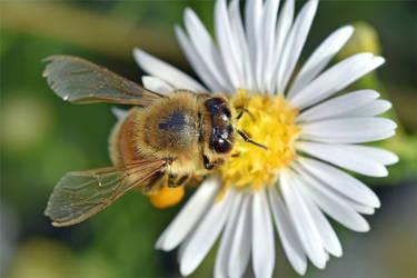 0245 Bee / Pollen harvest