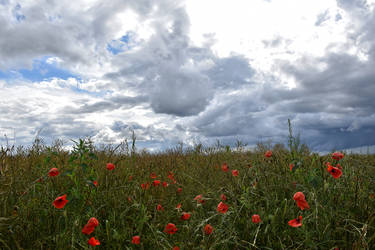0387 Poppies under a stormy sky