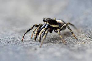 0534 Jumping Spider