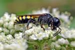 0310 European paper wasp - Poliste gaulois by RealMantis