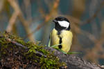 1691 Great Tit by RealMantis