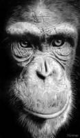 Chimpance by raulrk