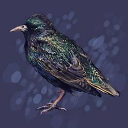 European Starling by SimoneMorgan