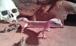 Smol gecko
