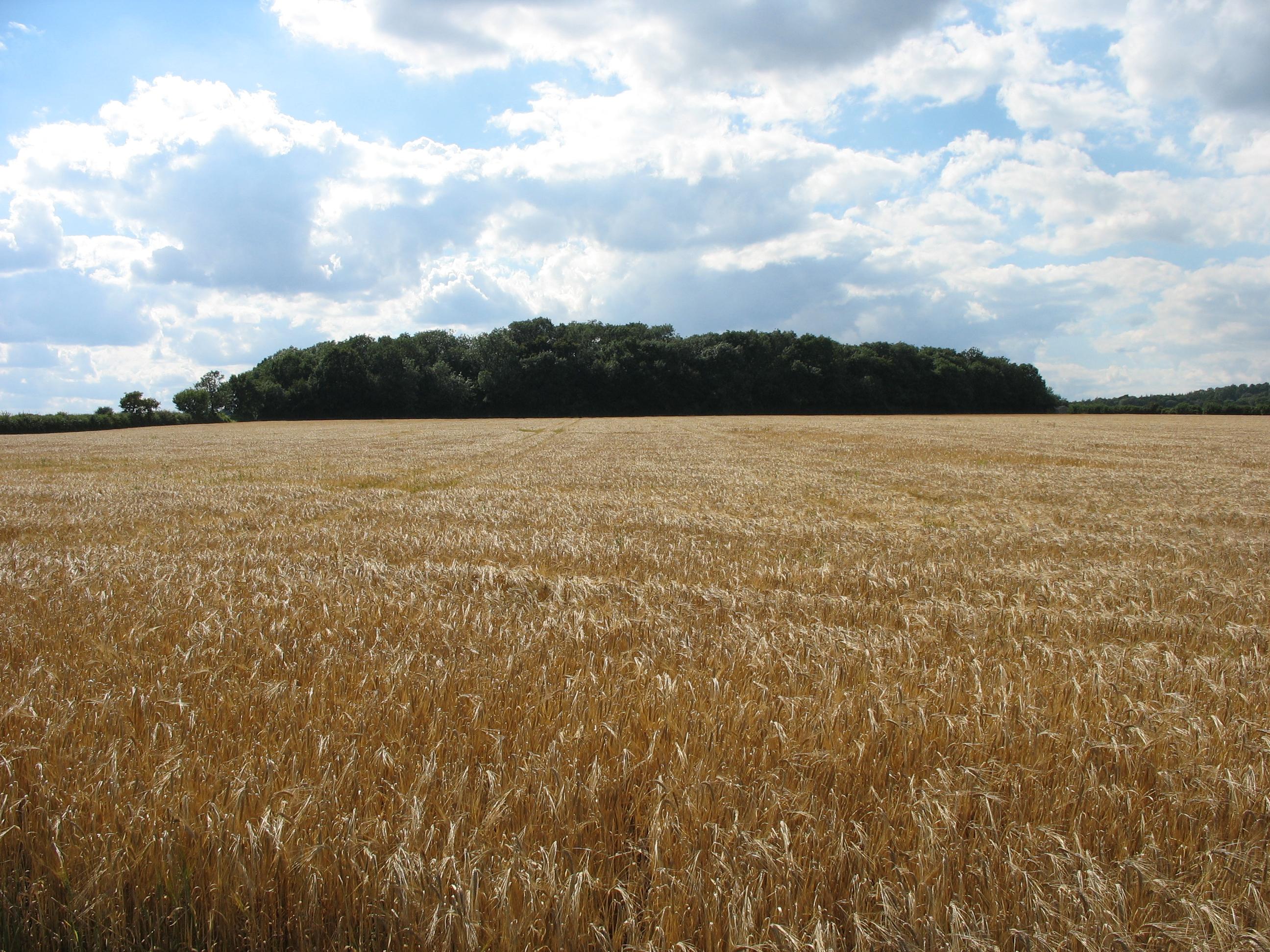 barley fields by nitrok - photo #20