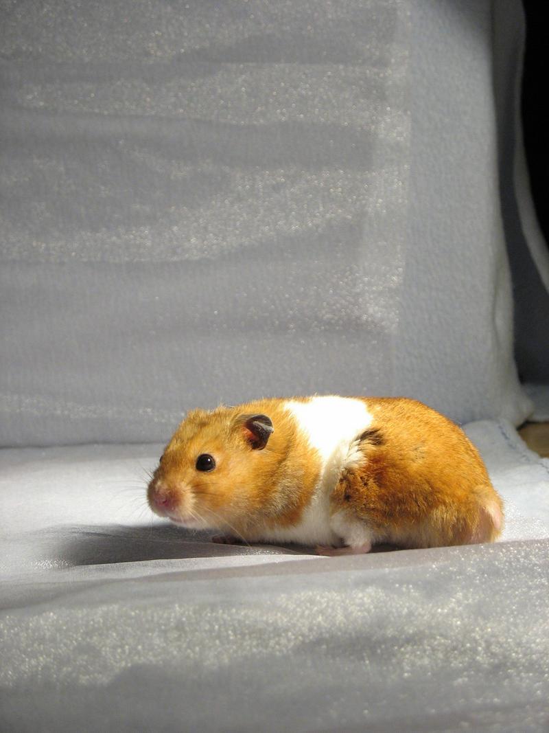 Hamster 12 by eldris-stock