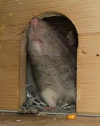 rat, ezio by RachaelXIII