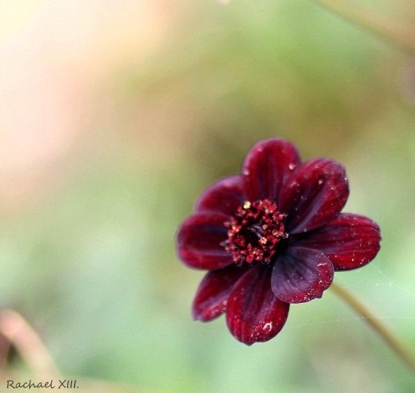 Flower by RachaelXIII