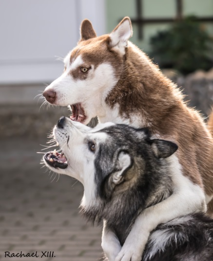 playing Huskies by RachaelXIII