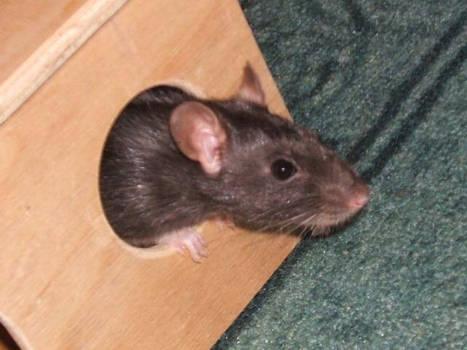 azrael the rat