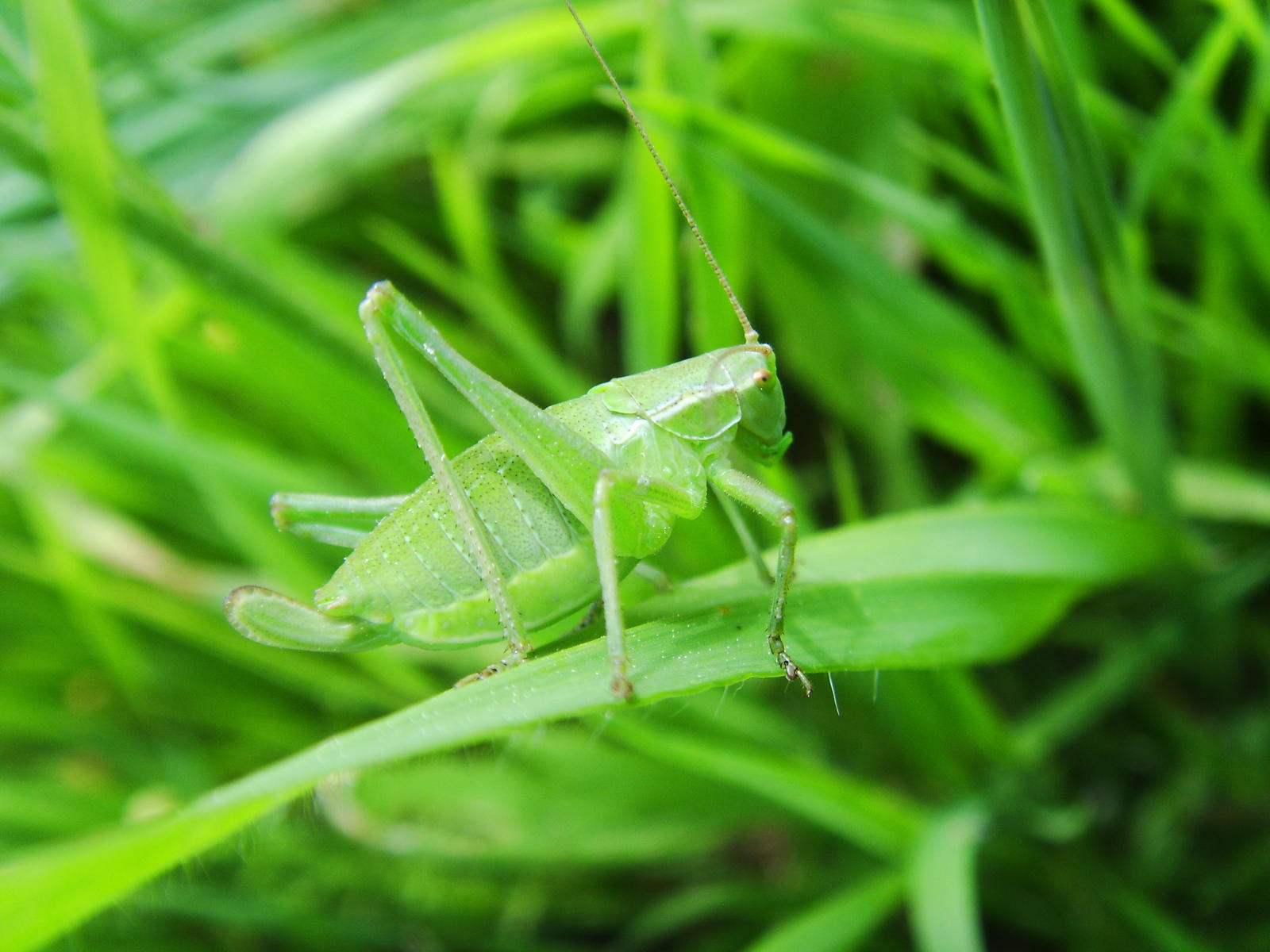 Green Grasshopper by Victoria-Nehaichik on DeviantArt