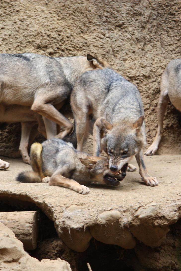 August 22, 2008 WOLF CUB by ColonelKamiya