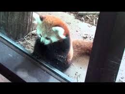 Red Panda by OfficiallyGeek
