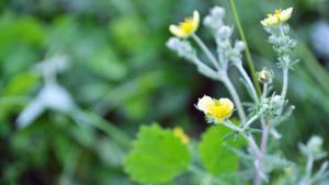 Little yellow flowers by Belolis