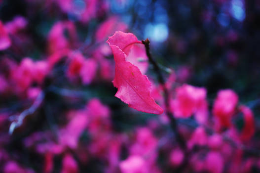 Pink leaf Sarapul Akshabariha by Belolis