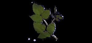 5 - Rubus Ulmifolius