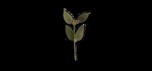 6 - Salvia Officinalis