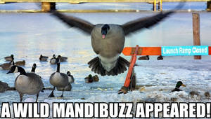 Mandigoose