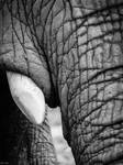 Elephant Detail by EveVictus