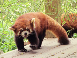 Red Panda by EvelynVictus