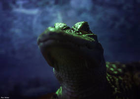 Gator Stare by EvelynVictus