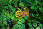 Mighty Croak by EvelynVictus