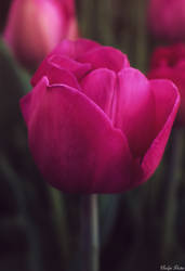 Pink Beauty by EveVictus