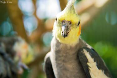 Cockatiel Close Up by EveVictus