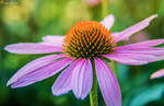 Vibrant Echinacea by EvelynVictus