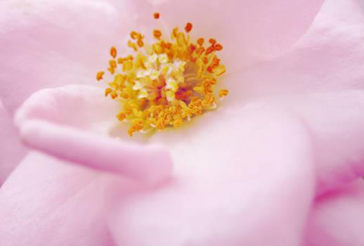 Rose in Blossom 2