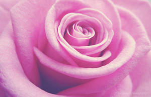 Pink beauty by Marianna9