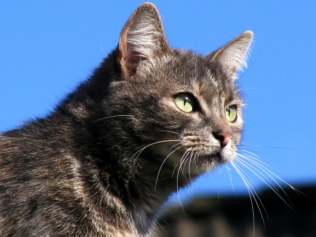 Bekijkt profiel - IntenseEyes Cat_stock_3_by_manonvr-d5s437u