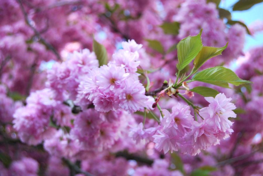 Cherry blossom by Kakaao