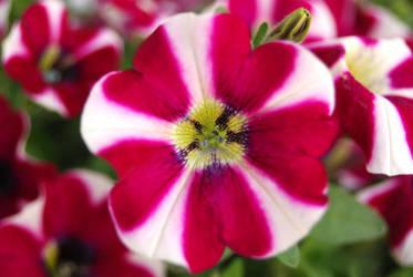 Hypnotizing flower by Kakaao