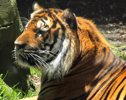 Brave Tiger