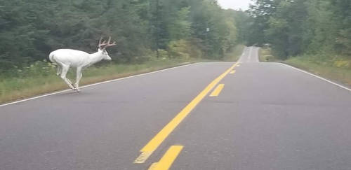 Real White Stag 3 taken by Krissy Mauler Stranahan