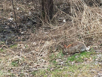 Cottontail rabbit 2 by bhut