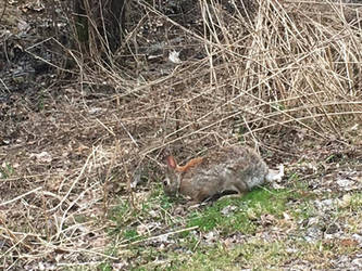 Cottontail rabbit 3 by bhut