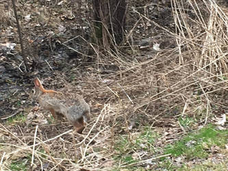 Cottontail rabbit 4 by bhut