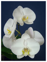 White as the Orchid by palantir6