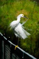 White Heron by LidiaRossana