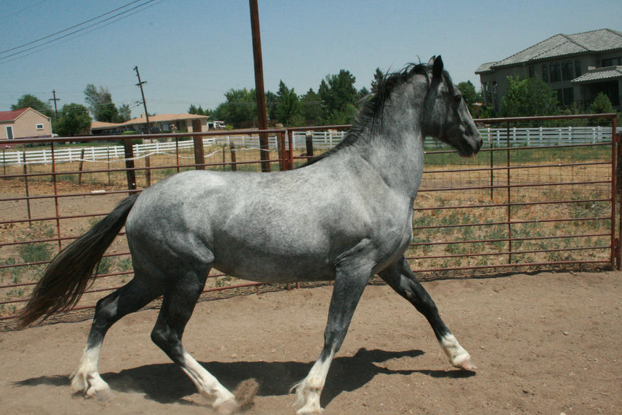 Blue Roan Stock 71 by tragedyseen