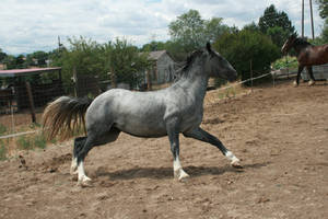 Blue Roan Stock 76 by tragedyseen