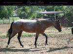 quarter horse stock 14