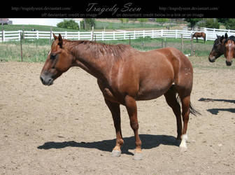 quarter horse stock 26 by tragedyseen