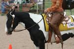 Paint Horse Stock 55