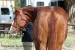 Quarter Horse Stock 38