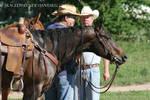Quarter Horse Stock 89